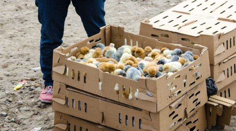 Breeding chickens for sale