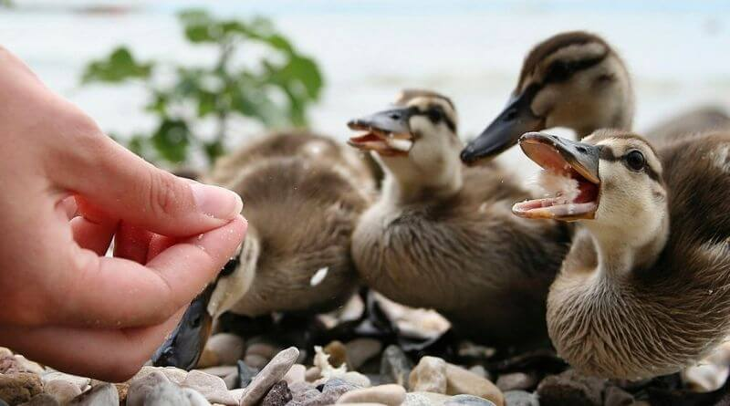 what to feed baby ducks