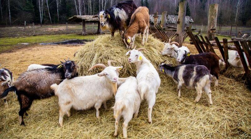 best hay for goats