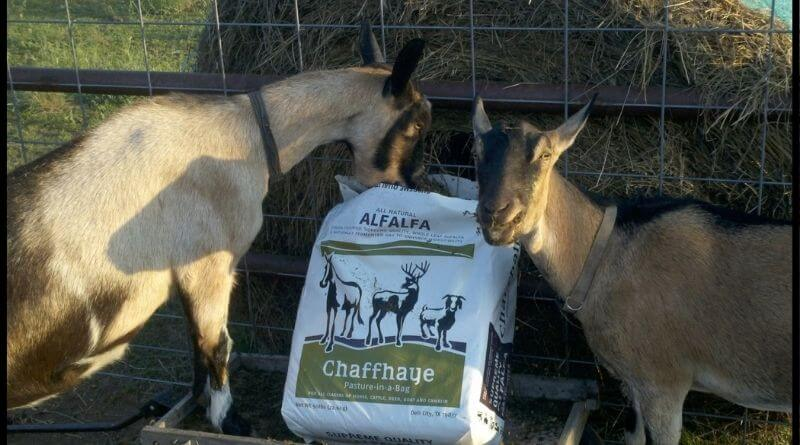 chaffhaye for goats