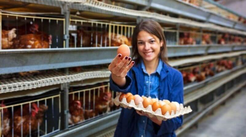 Breeding Chickens for Egg Production