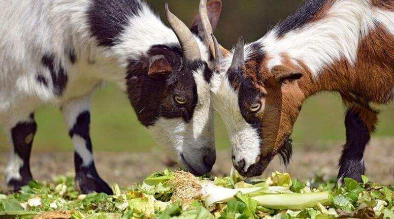 how much to feed goats