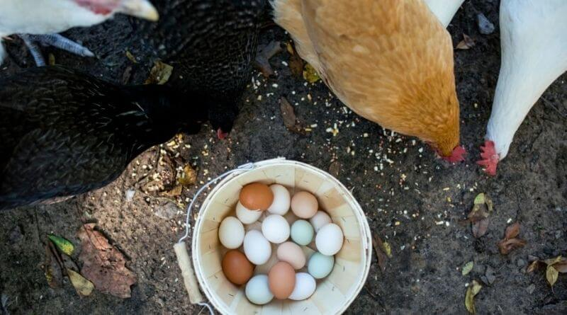 Araucana Chicken Egg and Meat Production