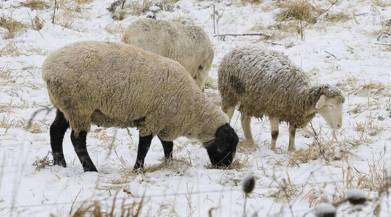 Feed Sheep in Winter