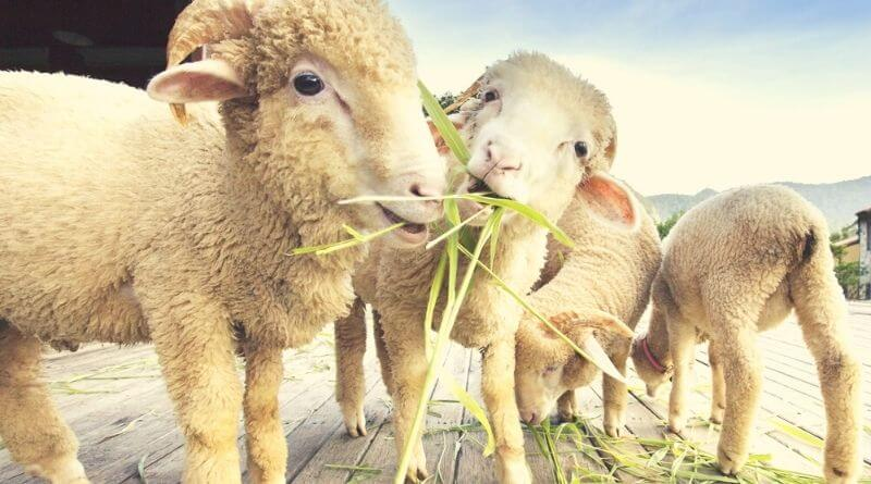 what do sheep eat